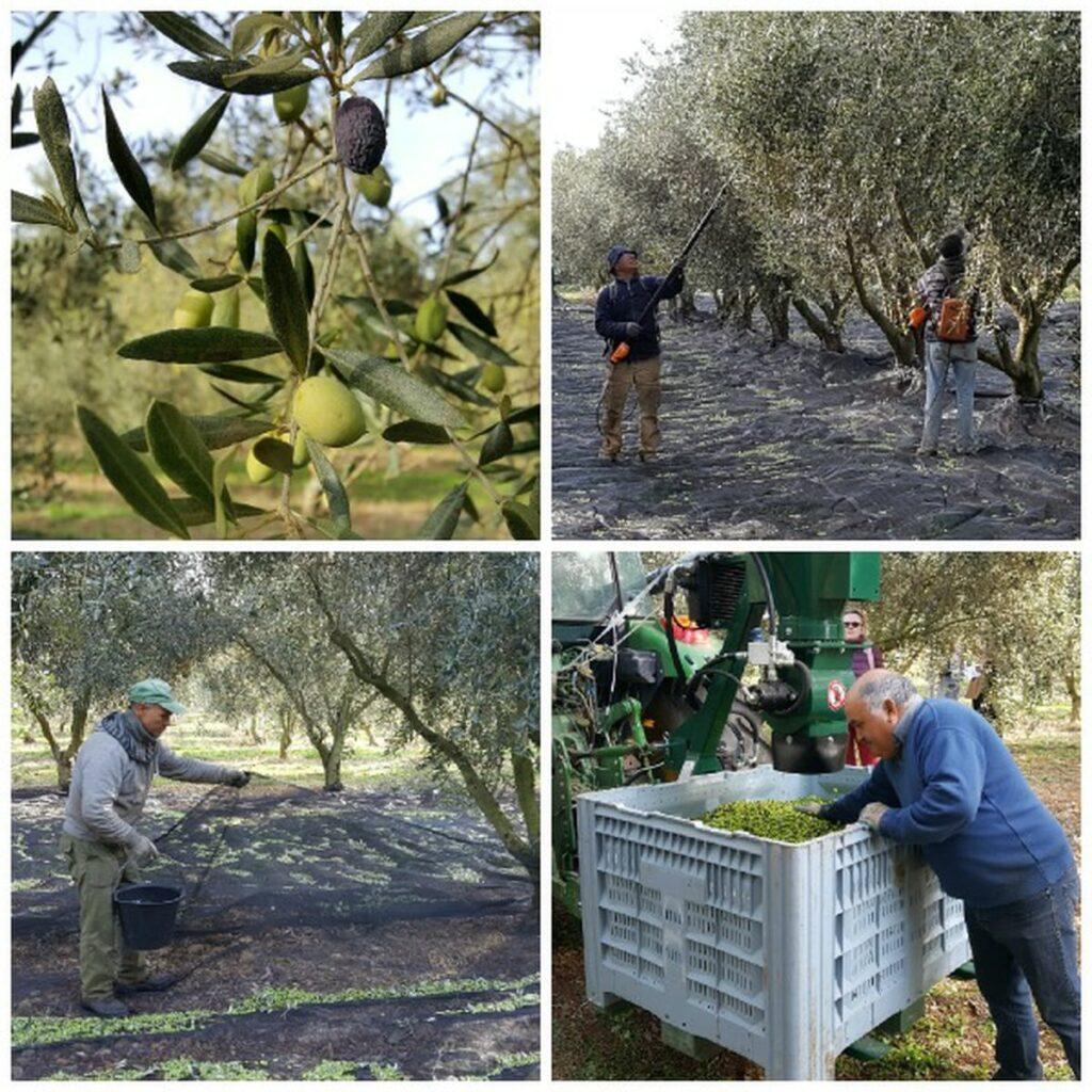 picking-olives in Provencal